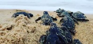 Tartarugas eclodem na praia de Piedade