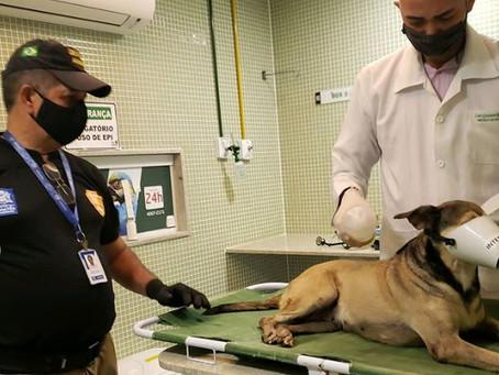 Cadela atropelada em Massangana é resgatada