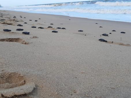 Mais de 60 filhotes de tartaruga-marinha eclodem em Piedade