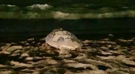 Tartaruga-de-pente desova na praia de Candeias em Jaboatão