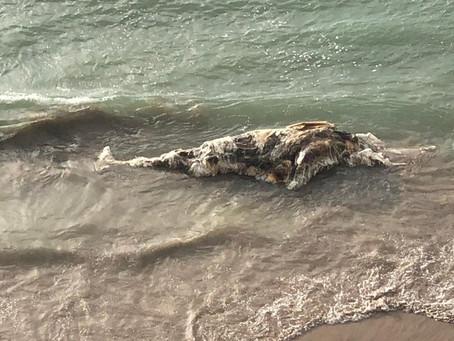 Baleia é encontrada morta na praia de Boa Viagem