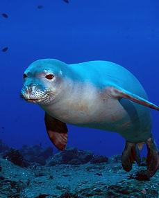 foca monje 1.jpg
