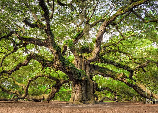 Oak Tree of Life.jpg