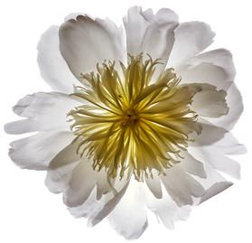 Flower 23 White Series 2002