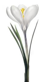 Flower 140 White Series 2012