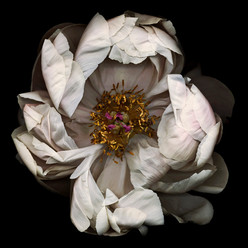 Flower 13 Black Series 2001