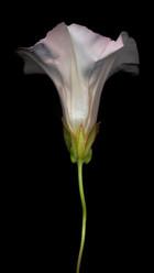 Flower 82 Black Series 2004