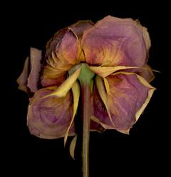 Flower 73 Black Series 2008