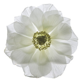 Flower 139 White Series 2010