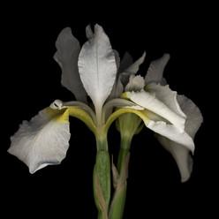 Flower 25 Black Series 2002