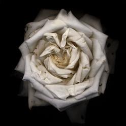 Flower 09 Black Series 2001