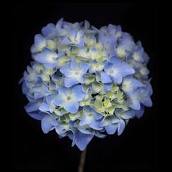 Flower 66 Black Series 2005