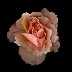 Flower 33 Black Series 2003