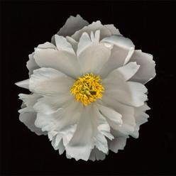Flower 60 Black Series 2004