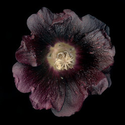 Flower 14 Black Series 2002