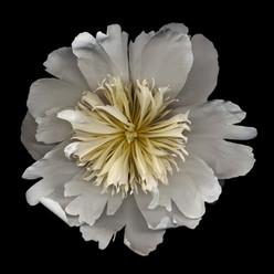 Flower 18 Black Series 2002
