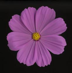 Flower 77 Black Series 2008