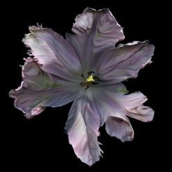 Flower 86 Black Series 2007