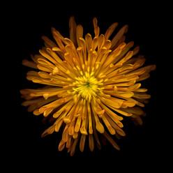 Flower 41 Black Series 2003