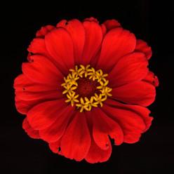 Flower 34 Black Series 2003