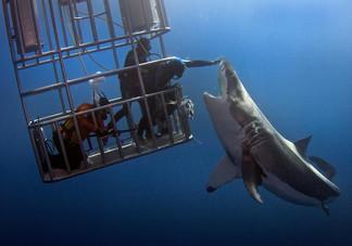 餵鯊行不行?