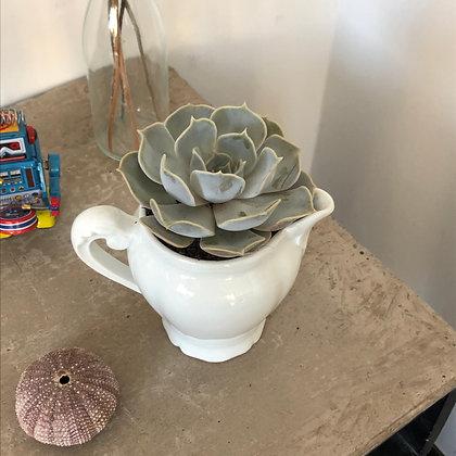 La succulente et son petit pot de lait