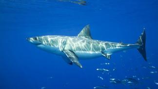 【動物好朋友】大白鯊(Great White Shark)