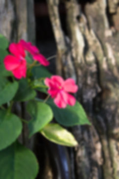 Pink delicate flowers in bunad iluso Silang Cavite