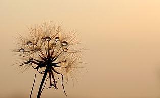 dandelion 640.jpg