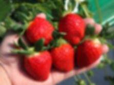 picking strawberry-2.jpg