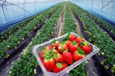picking strawberry-3.jpg