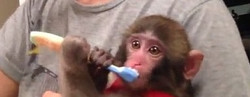 monkeybrushingteeth