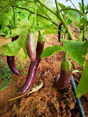 KP toro peppers.jpg