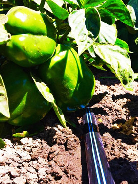 Gobabis-TORO peppers.jpg