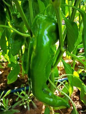 KP toro groen pepper.jpg