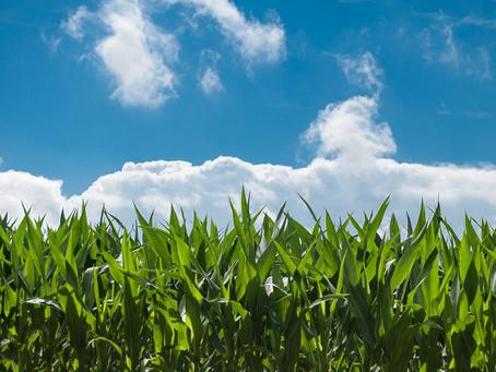 Le culte du maïs