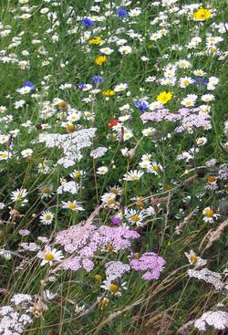 Wild flower plantiing