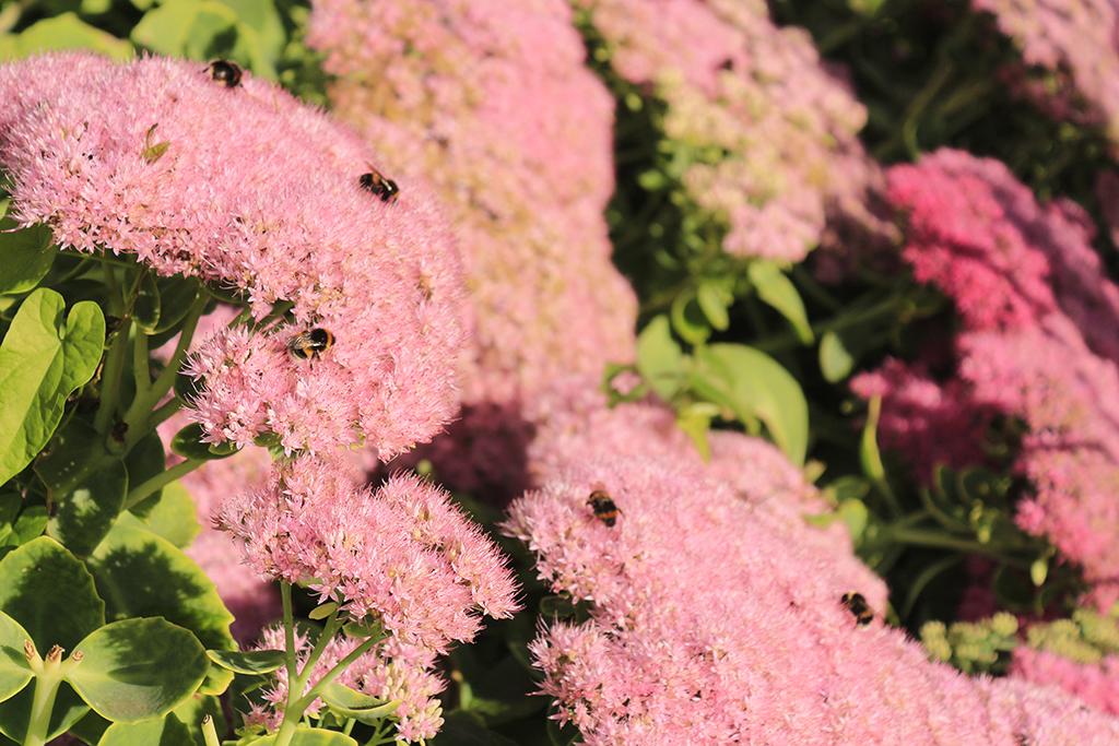 _MG_9107 Bees on the seedum