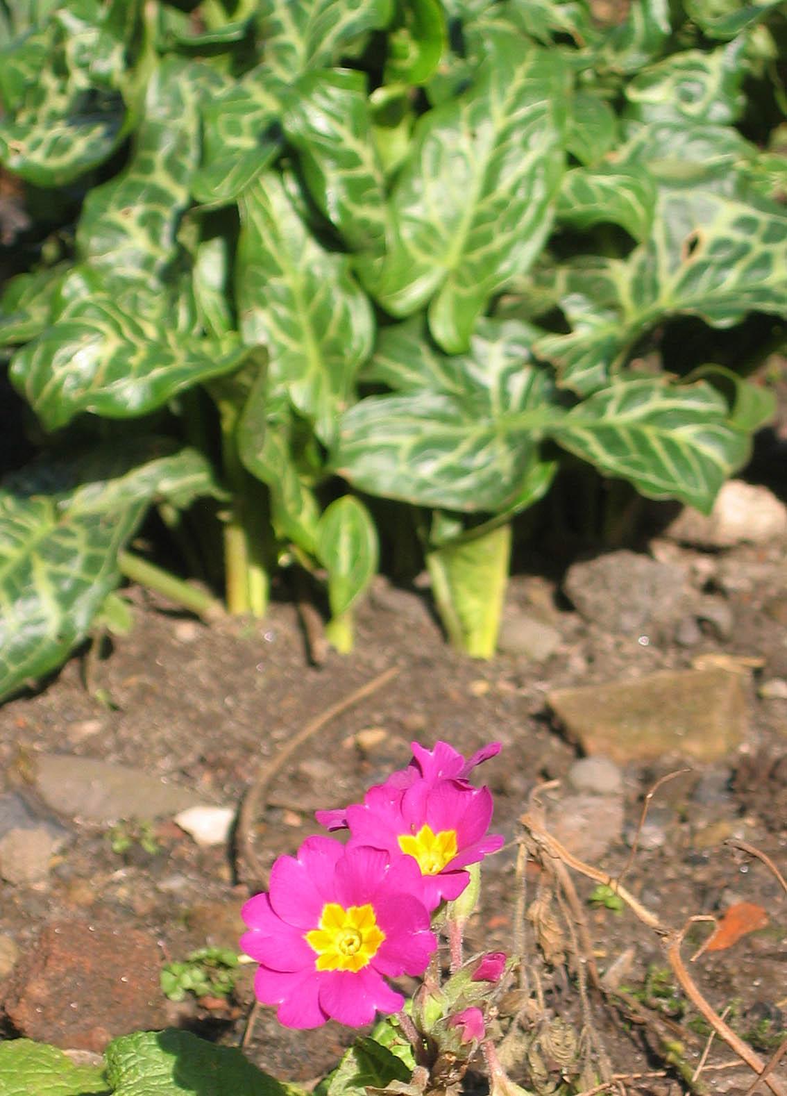 Primula and arum