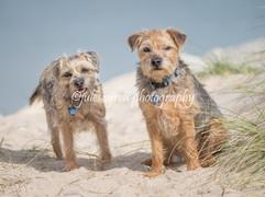 Border Terrier Dogs at Hengistbury Head