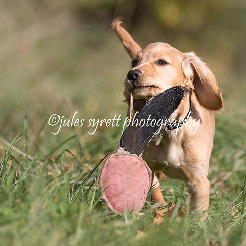 Purbeck Gundog School - More to follow ...