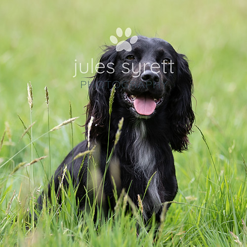 Purbeck Gundogs