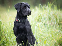 Labrador puppy in the rain
