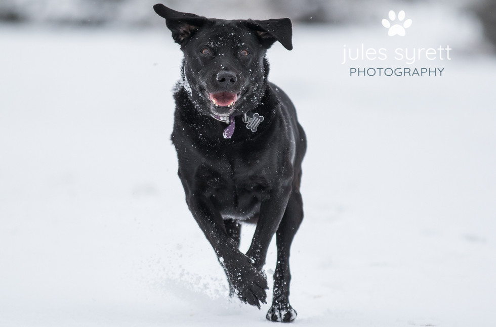 Photography - Black Labrador playing the hte snow Holmsley New Forest Hampshire