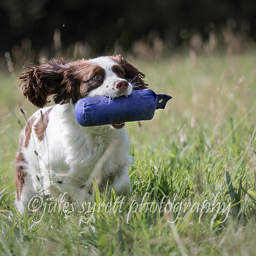 Purbeck Gundog School - more to follow ..
