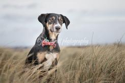 Benji - Labrador X Collie Puppy