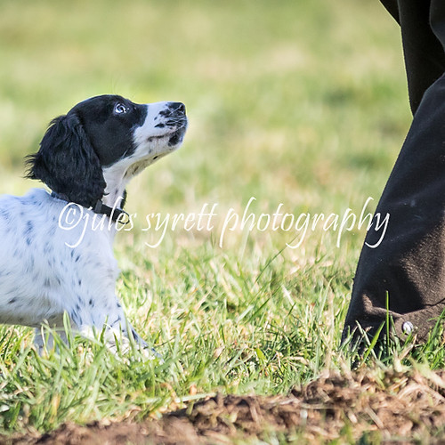 Purbeck Gun Dog School -(more to follow)