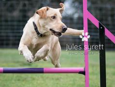 Digger - Labrador in Agility Training