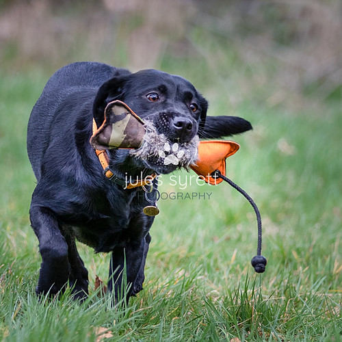 Purbeck Gundog School (