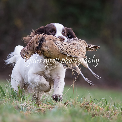 Purbeck Gundog School ... More to follow